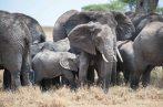 Elefanten_Serengeti_1