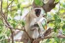 Meerkatze Tarangire 2017-1-2