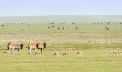 Elenantilopen Gazellen usw Ngorongoro 2017-2-2