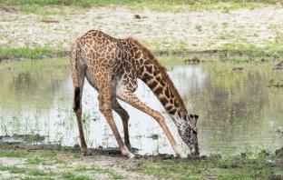 Giraffen Tarangire-2017-1-2