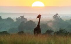 Giraffe u Sonnenaufgang Masai Mara 2020_4-2